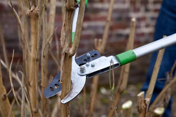 Hard pruning a buddleia