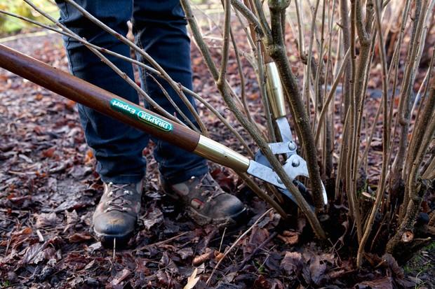 Pruning a blackcurrant bush