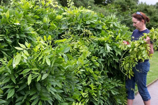 Summer pruning wisteria
