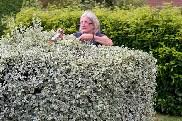 Trimming a pittosporum hedge