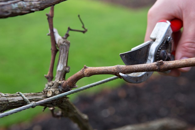 Pruning a grapevine in a winter