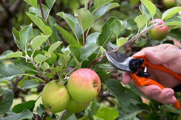 Summer pruning an apple tree