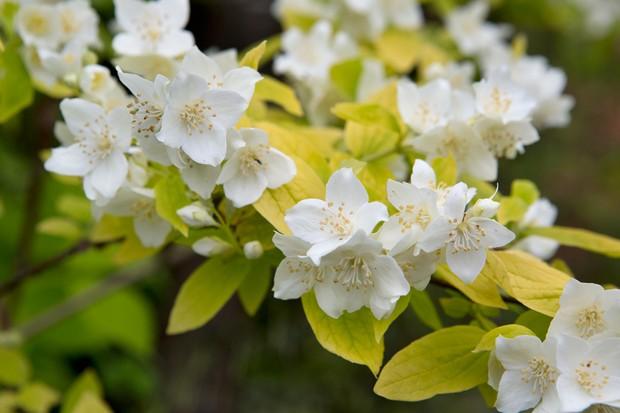 Philadelphus flowers