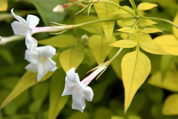 Jasmine 'Fiona Sunrise' flowers