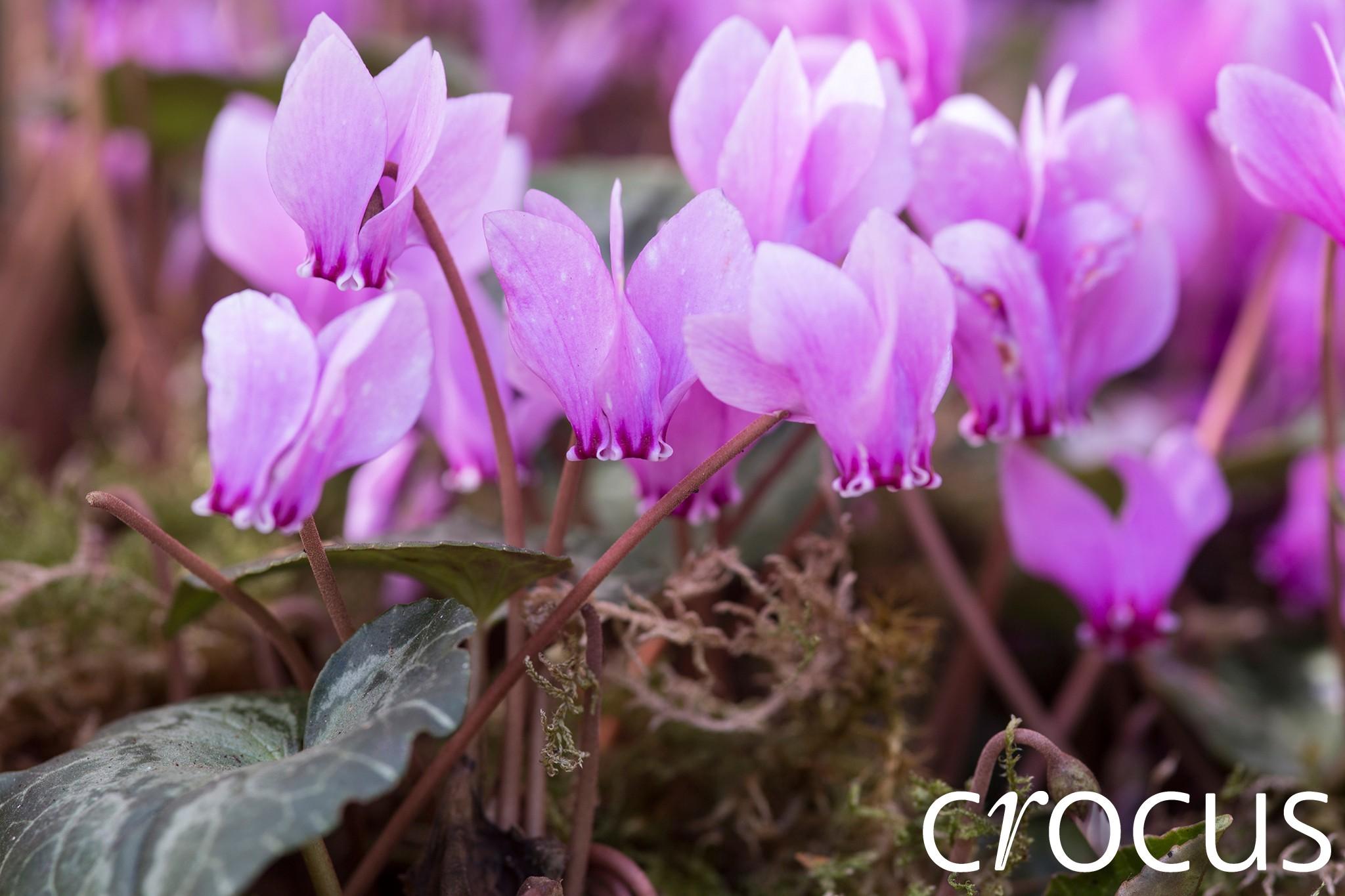 crocus-hero-shot-cyclamen-2048-1365