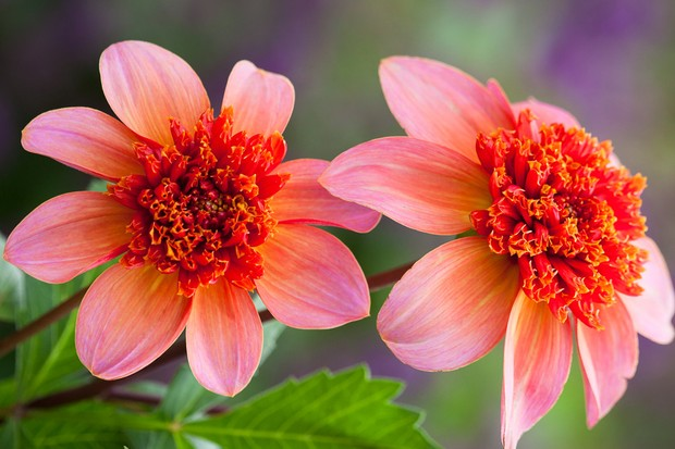 Dahlia 'Totally Tangerine' from Sarah Raven