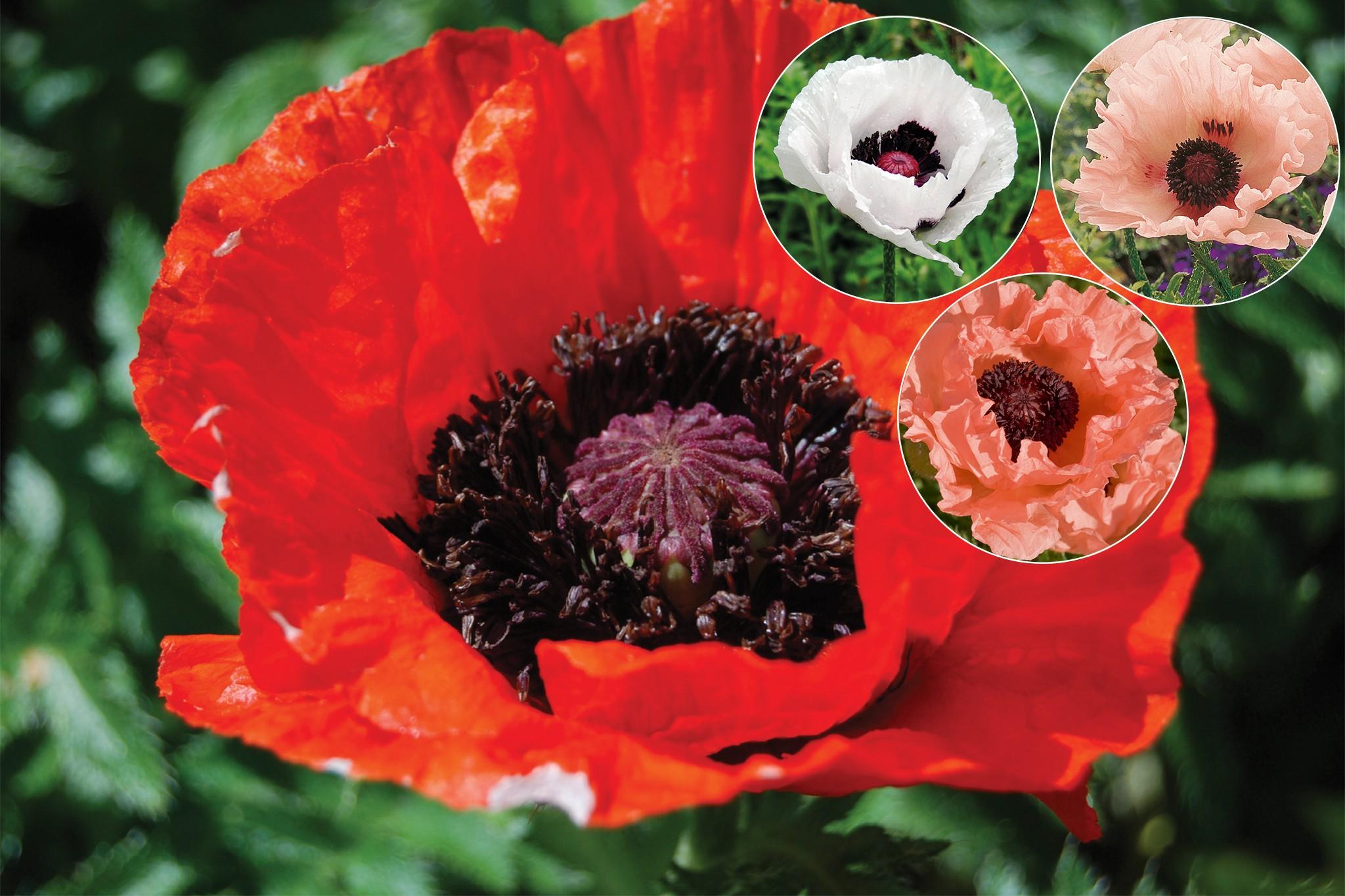 tandm-free-oriental-poppies-2048-1365