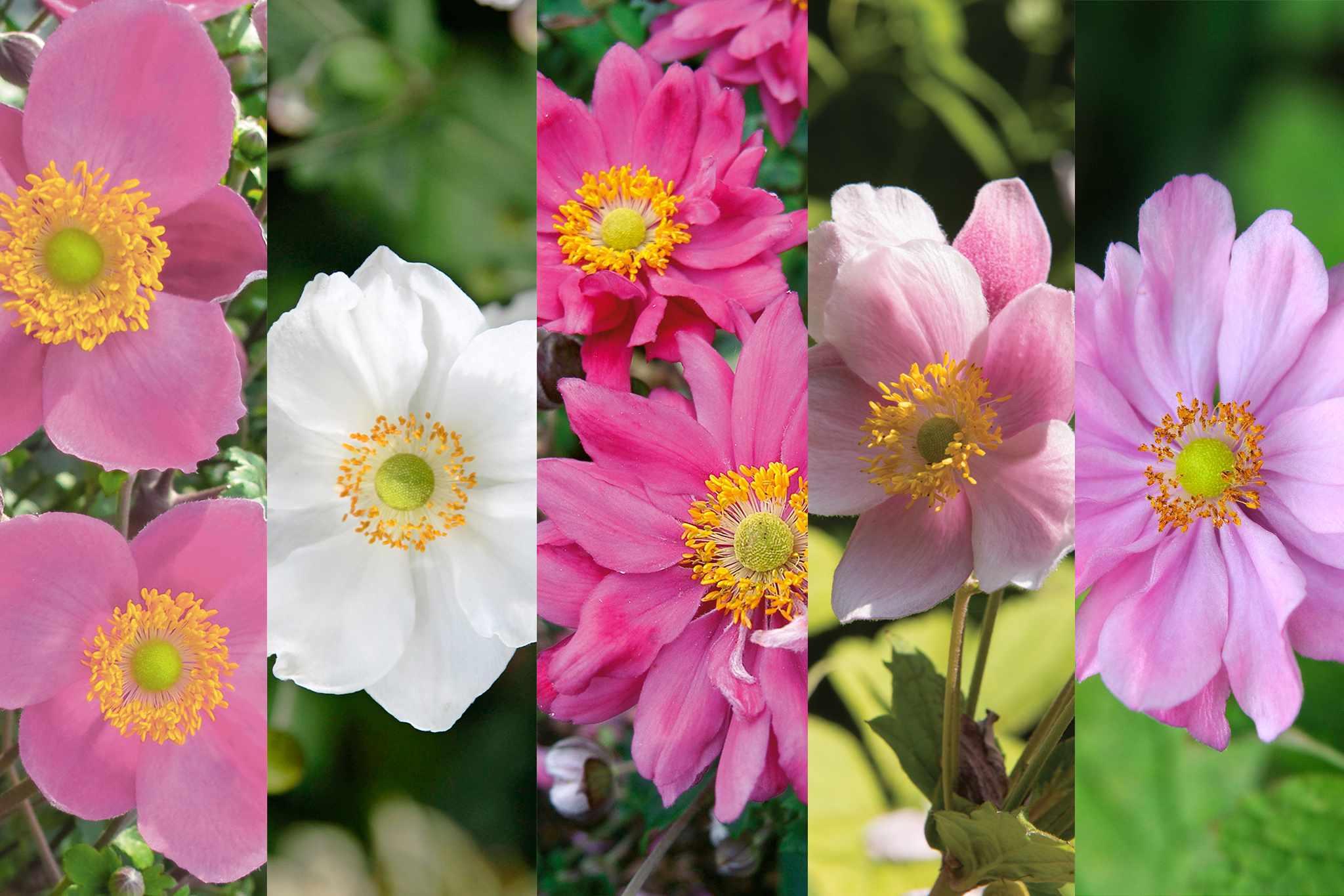 tandm-free-postage-anemones-2048-1365