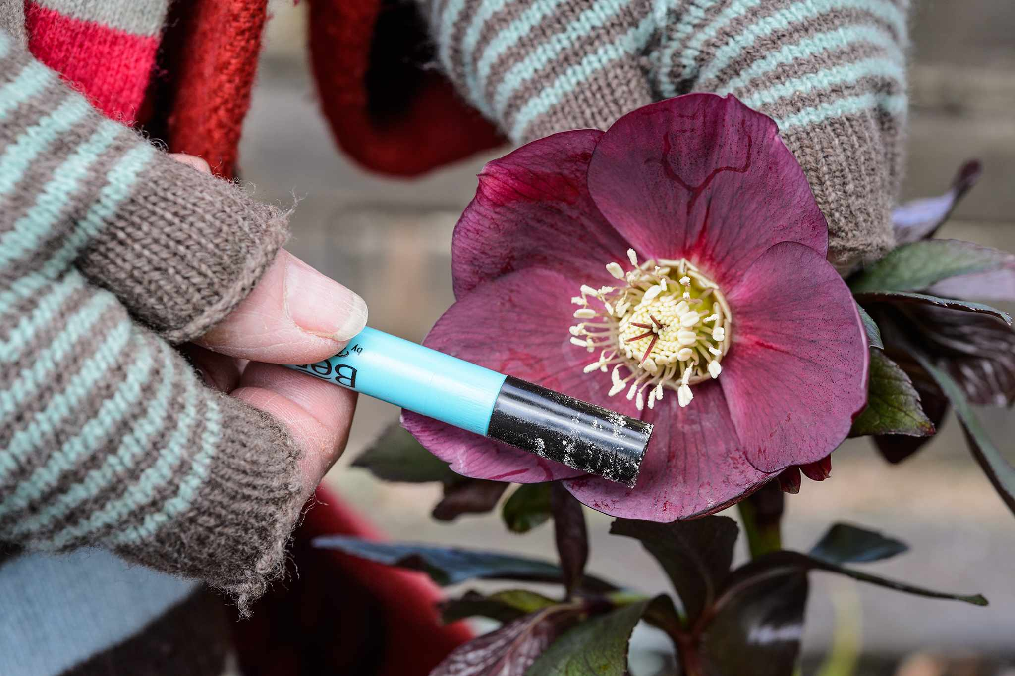 Collecting pollen from hellebore flower