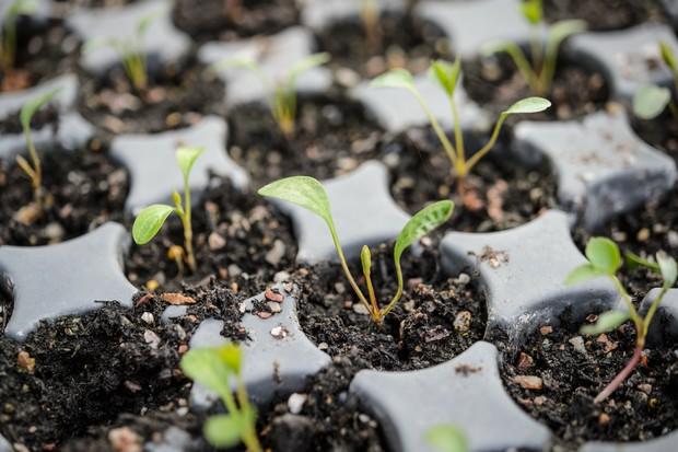 Close up of Hellebore seedlings