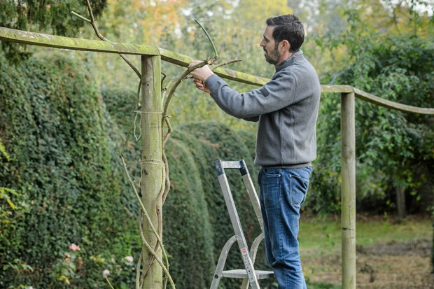Pruning and tying in a climbing rose