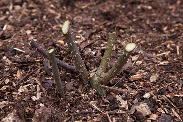 A hard-pruned hybrid tea rose