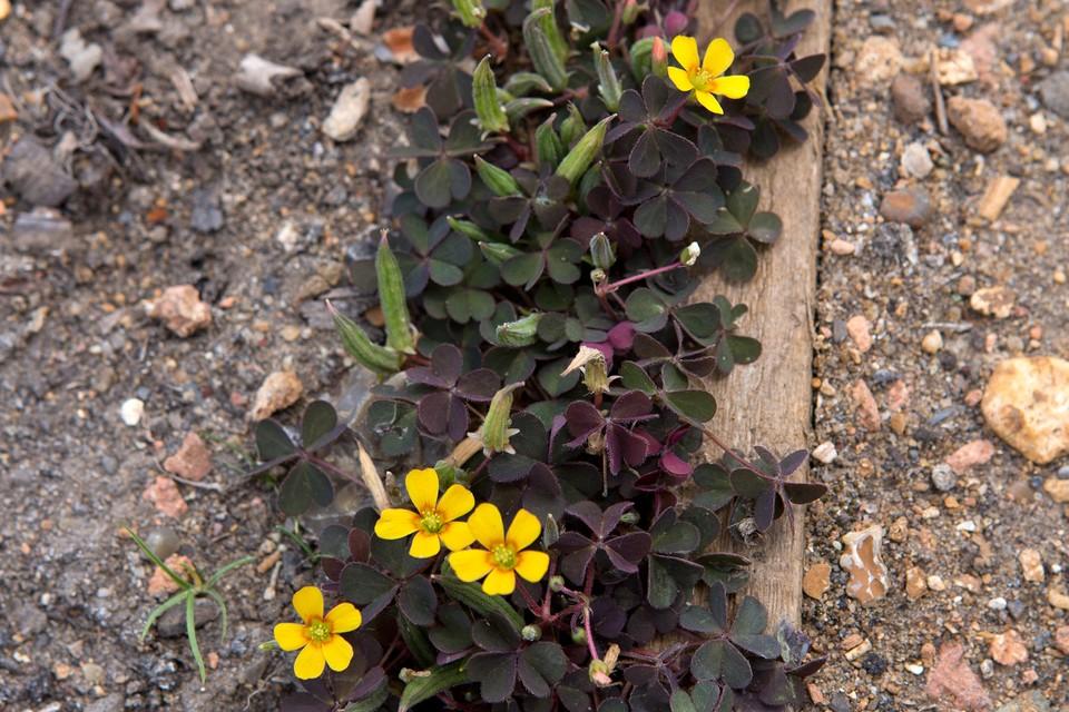 Garden Identifier Weed Seedlings Bbc Gardeners World Magazine
