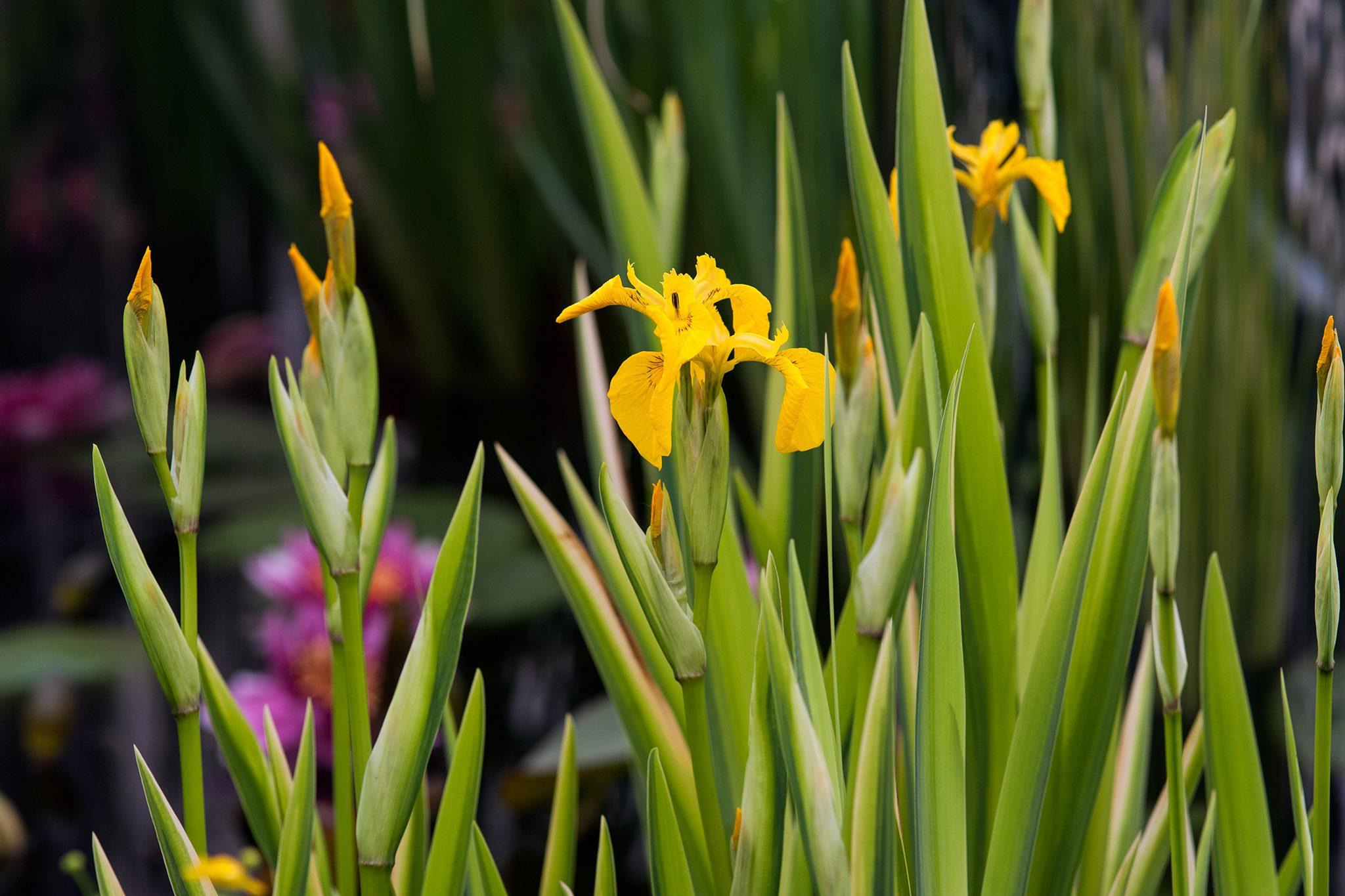 Marginal Pond Plants Iris pseudacorus variegata Variegated yellow flag