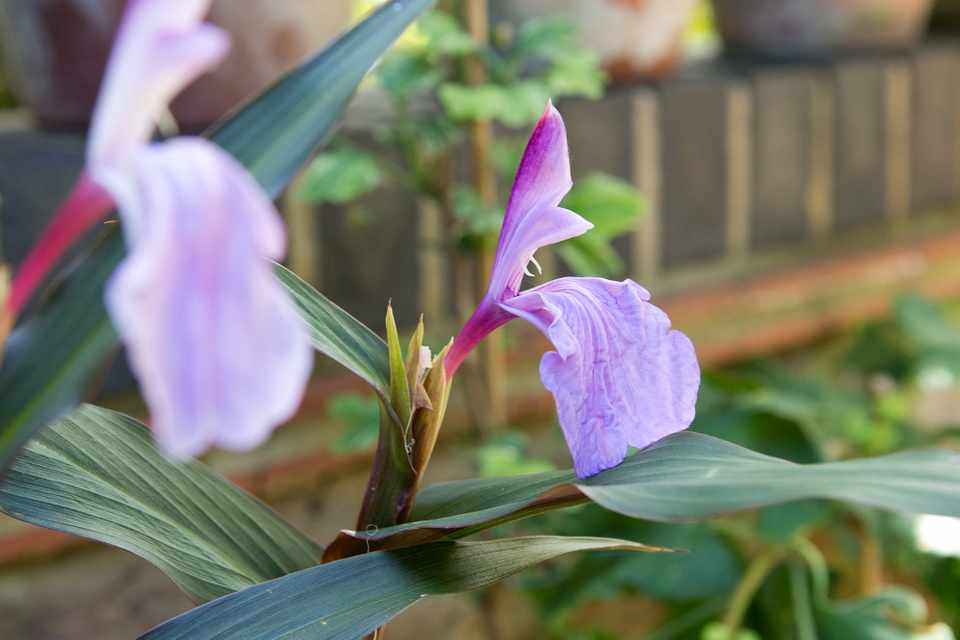 Roscoea purpurea 'Brown Peacock'