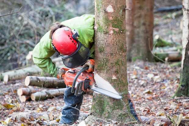 Tree surgeon felling tree