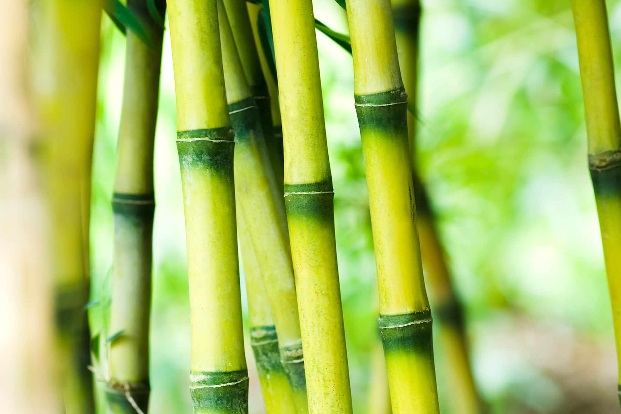 Chusquea Culeou bamboo, Getty Images.