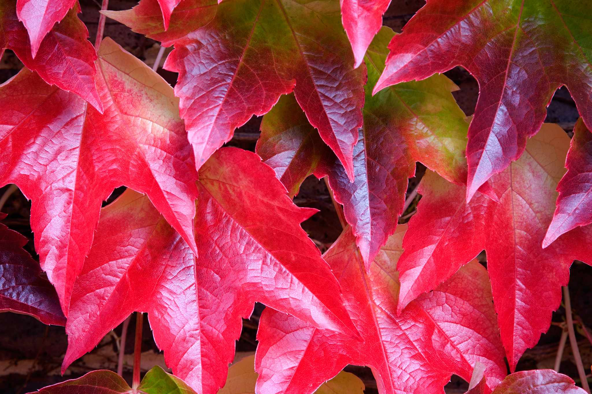Boston ivy, Parthenocissus tricuspidata. Photo: Getty Images.