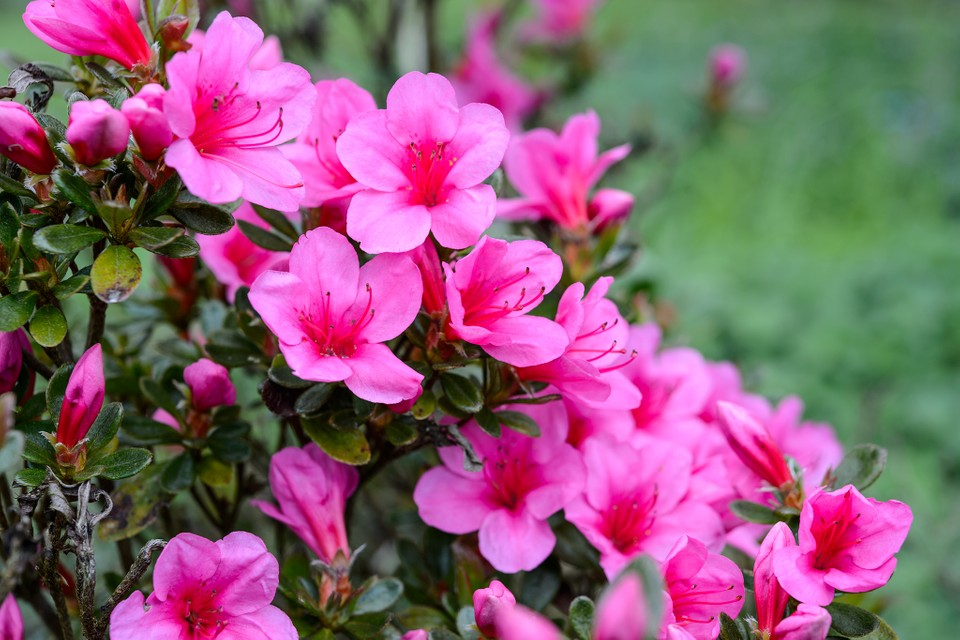 How To Grow Rhododendrons And Azaleas Bbc Gardeners World Magazine