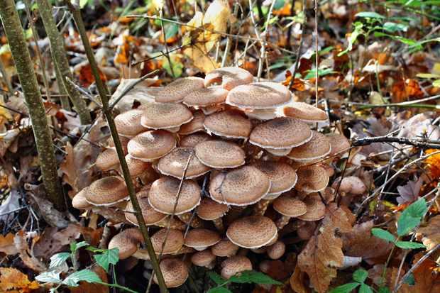 Honey fungus toadstools (Armillaria mellea)