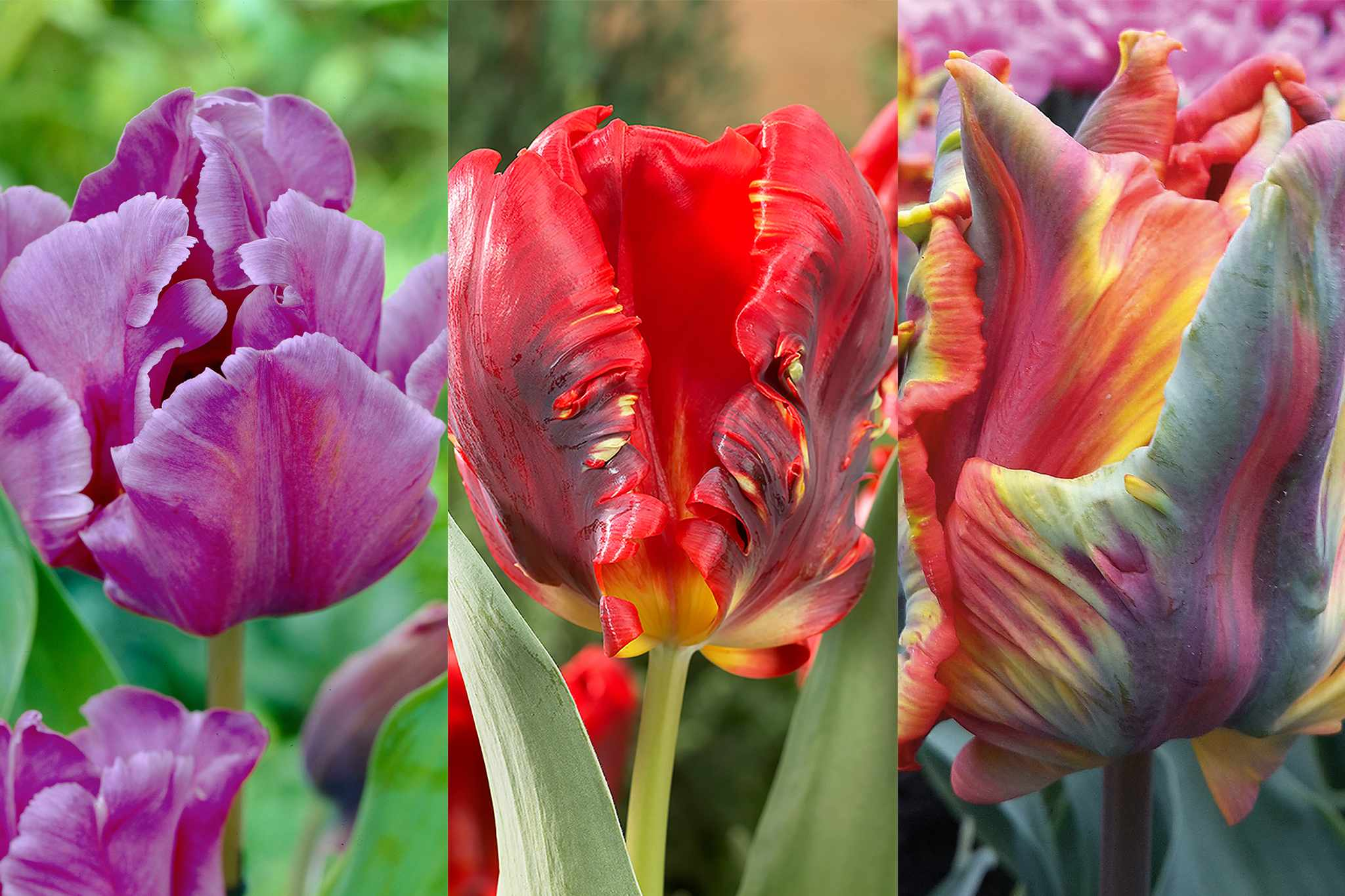 hayloft-parrot-tulips-collection-2048-1365