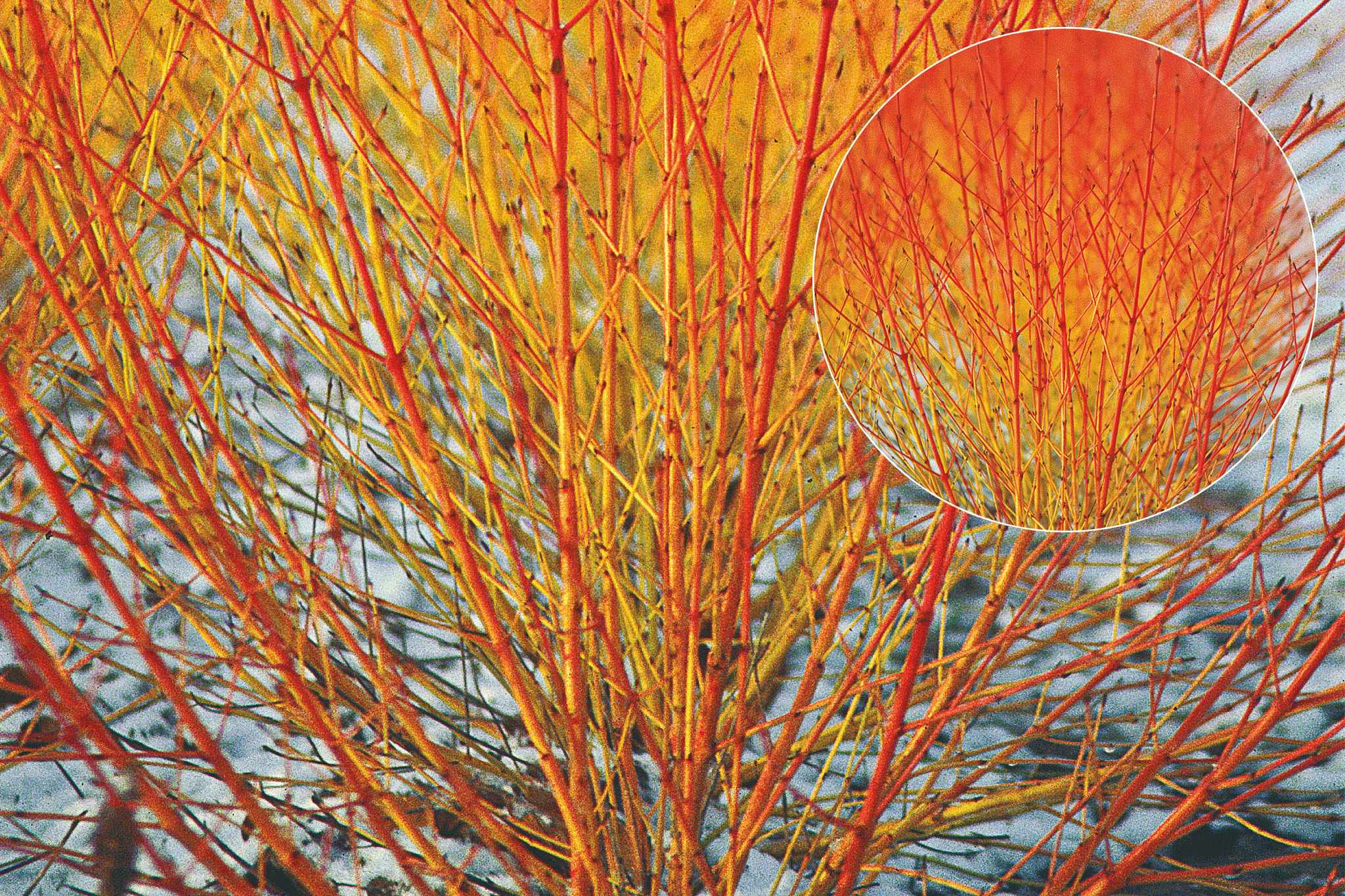 tandm-cornus-winter-flame-2048-1365