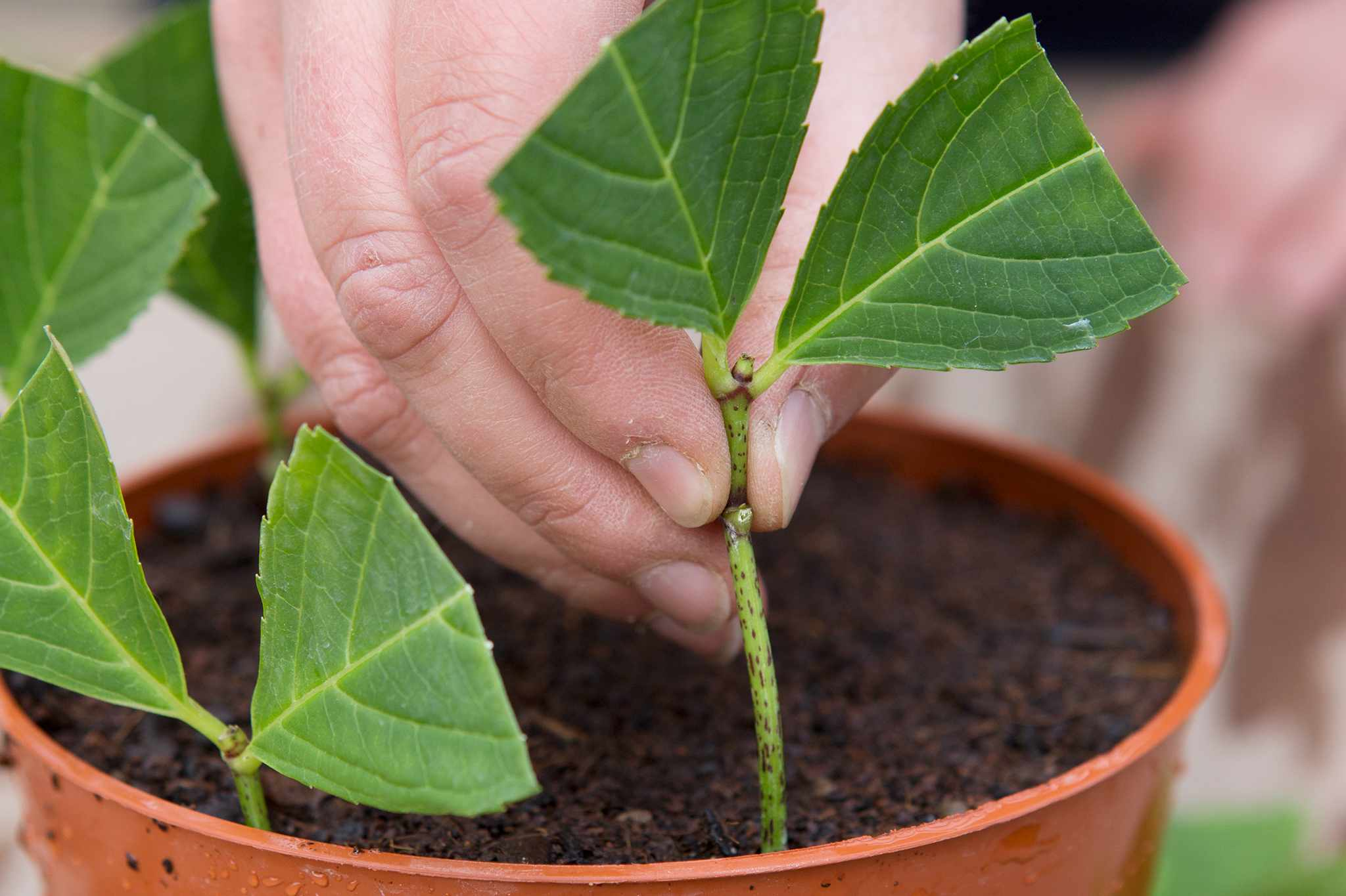 Taking hydrangea cuttings