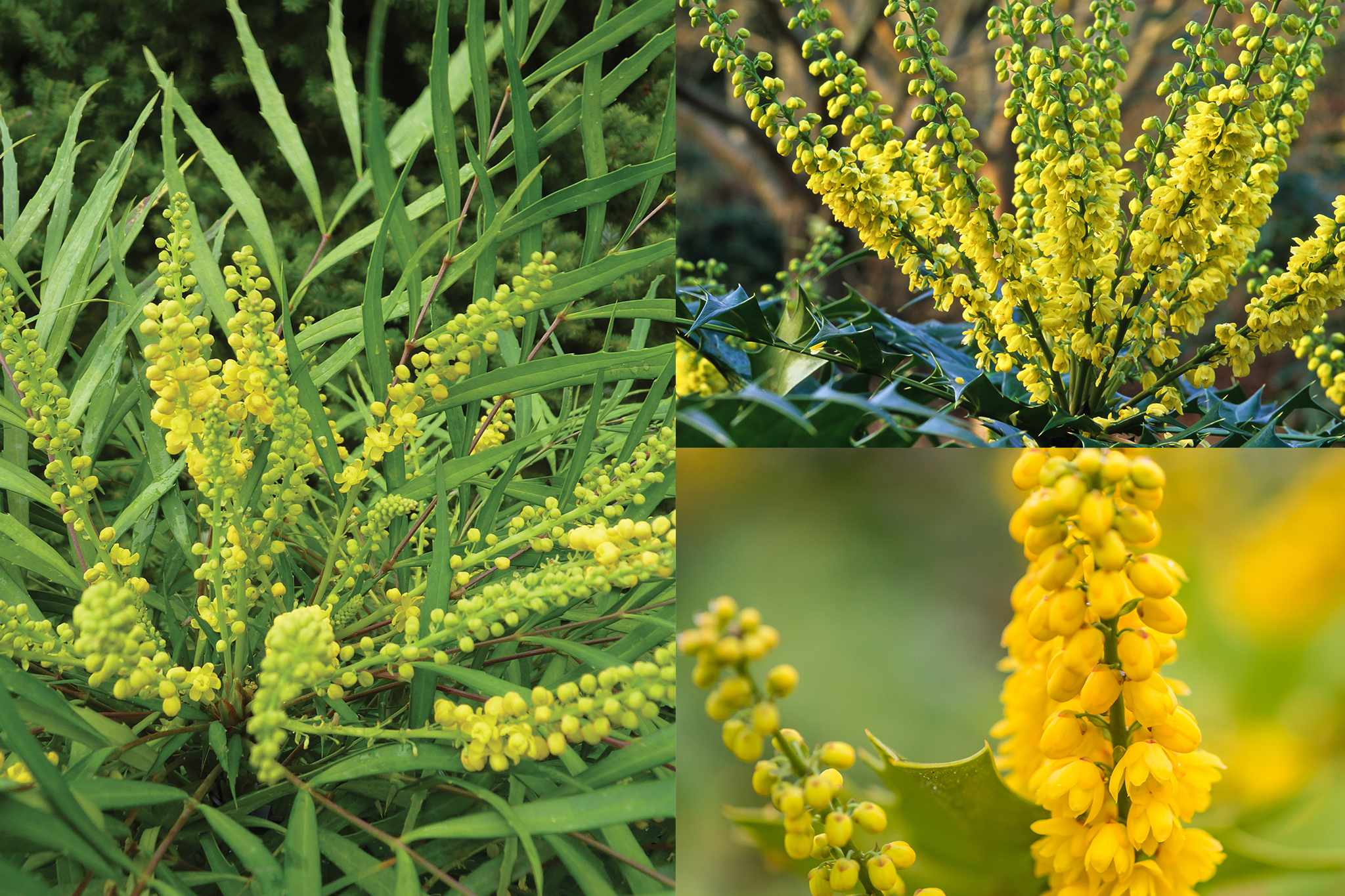 tandm-mahonias-save-10-2048-1365