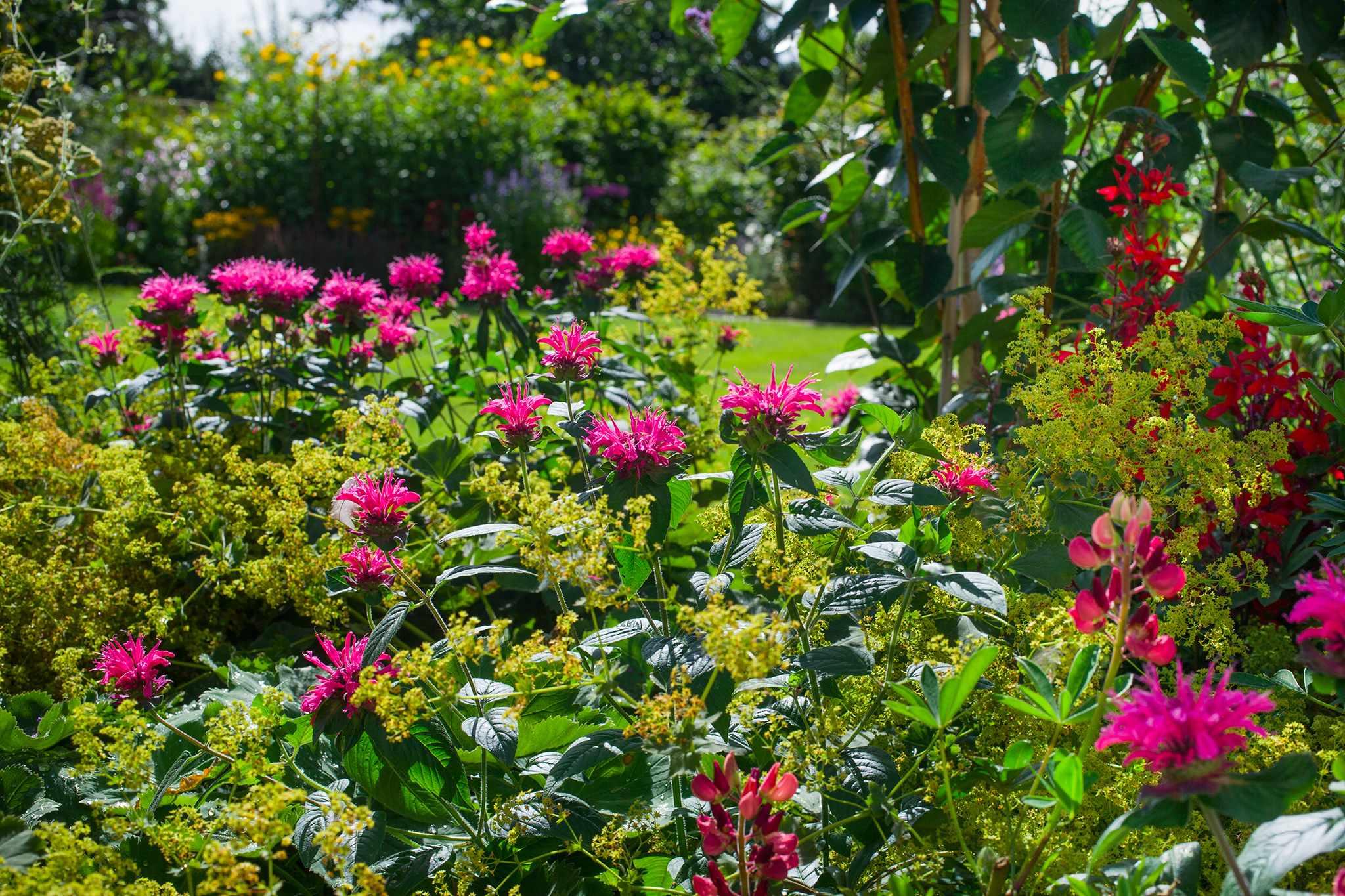 Colourful border with monarda, alchemilla, echinacea and Lobelia cardinalis