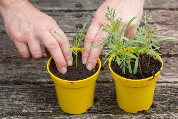 Potting seedlings into individual pots