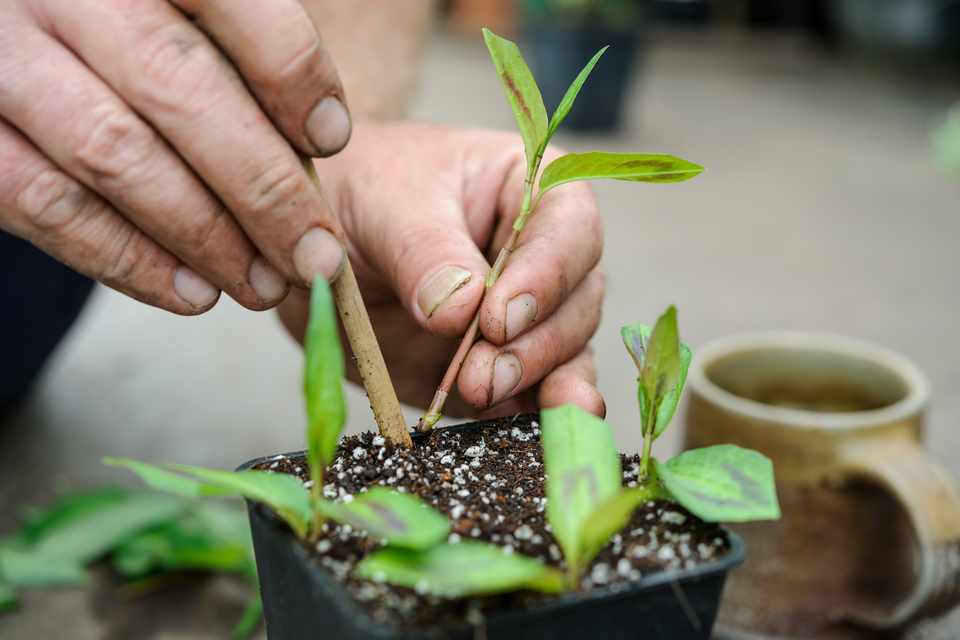 Taking Vietnamese coriander cuttings