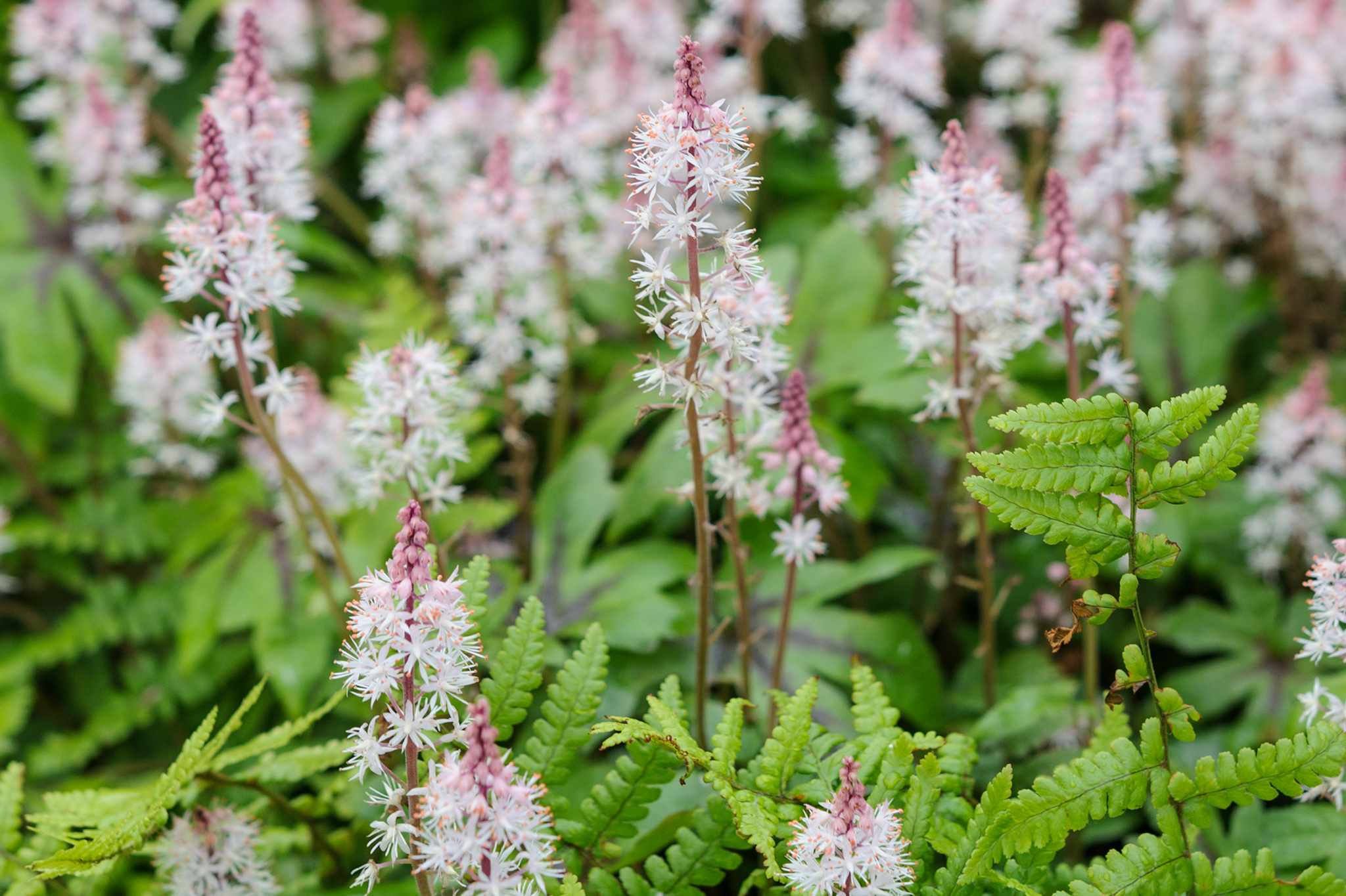Tiarella flowers