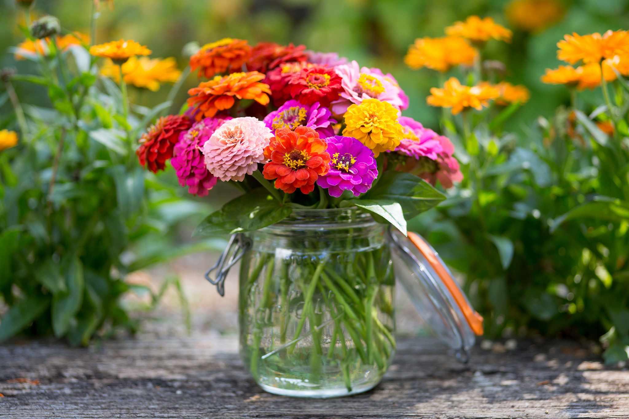 Zinnia cut flower display