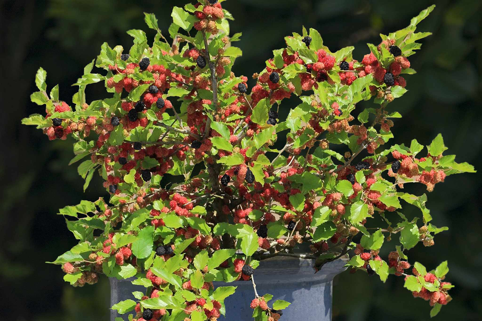 blooming-direct-dwarf-mulbery-mojoberry-2048-1365