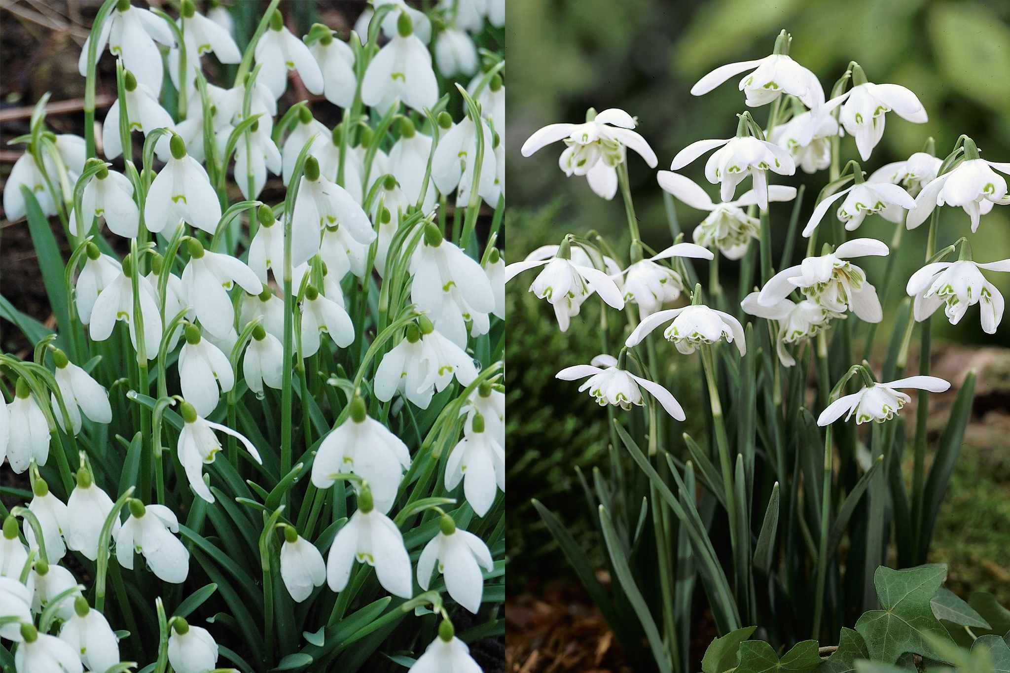 blooming-direct-snowdrop-collection-2048-1365