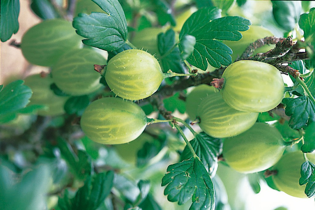 dt-brown-gooseberry-invicta-1024-683