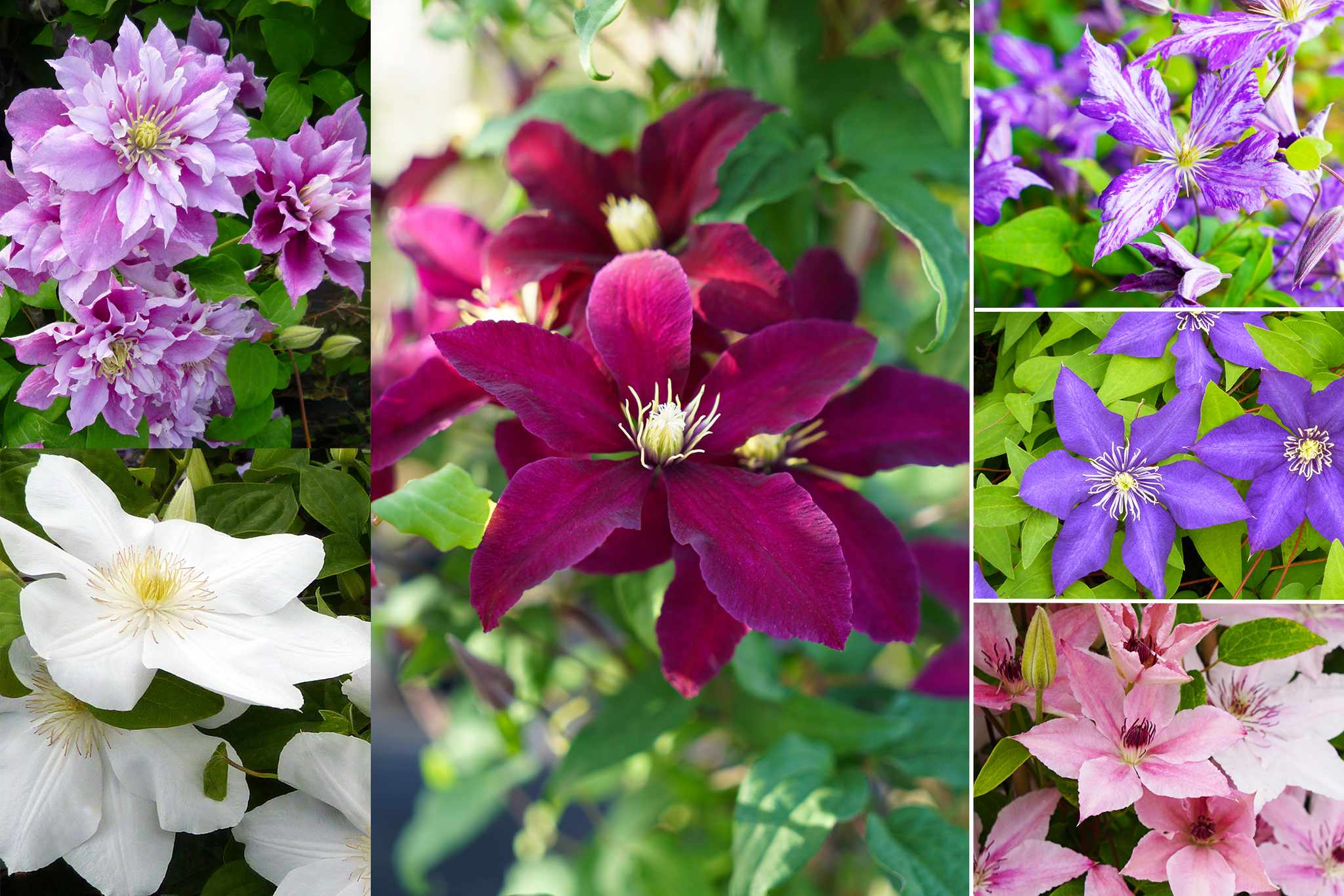 hayloft-ultimate-clematis-collection-plus-free-2048-1365