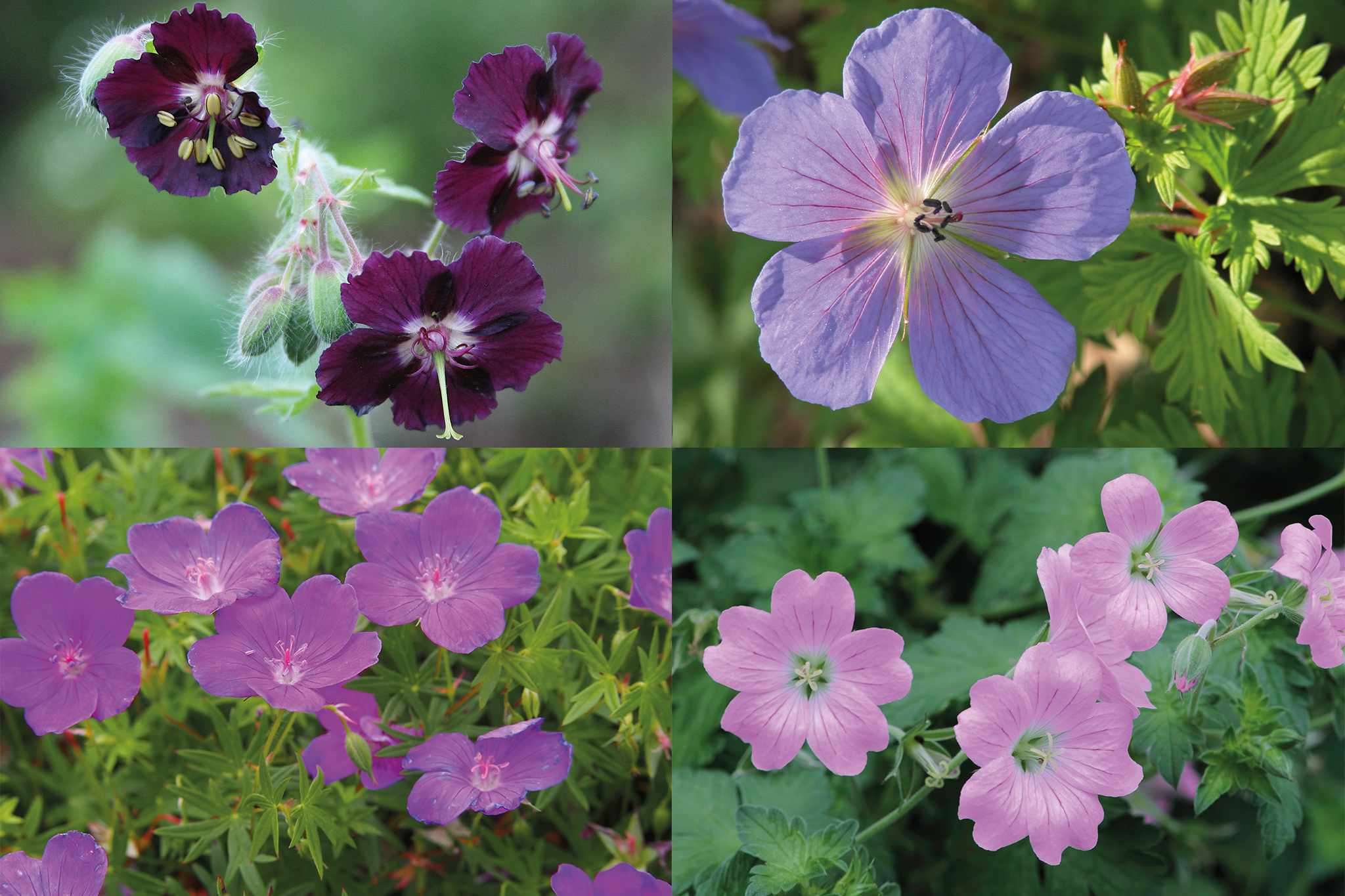 tandm-hardy-geranium-collection-2048-1365