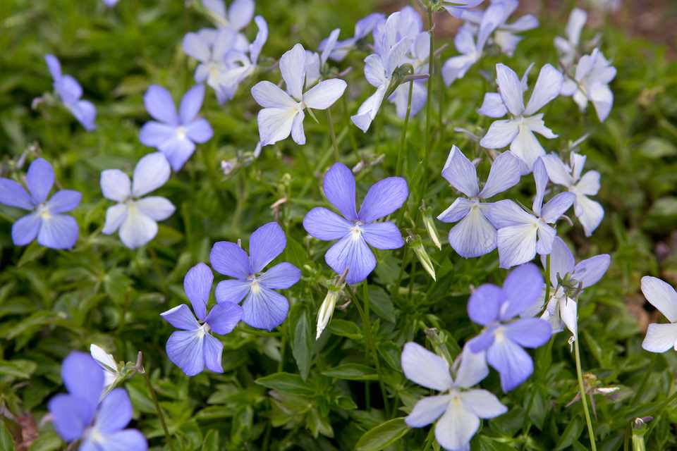Viola cornuta 'Belmont Blue'