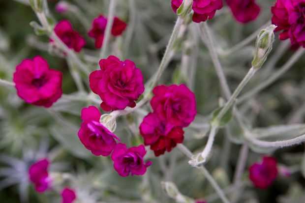 Lychnis 'Gardeners' World'