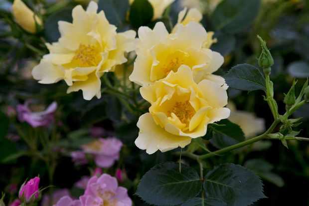 Rose 'Gardener's Gold'