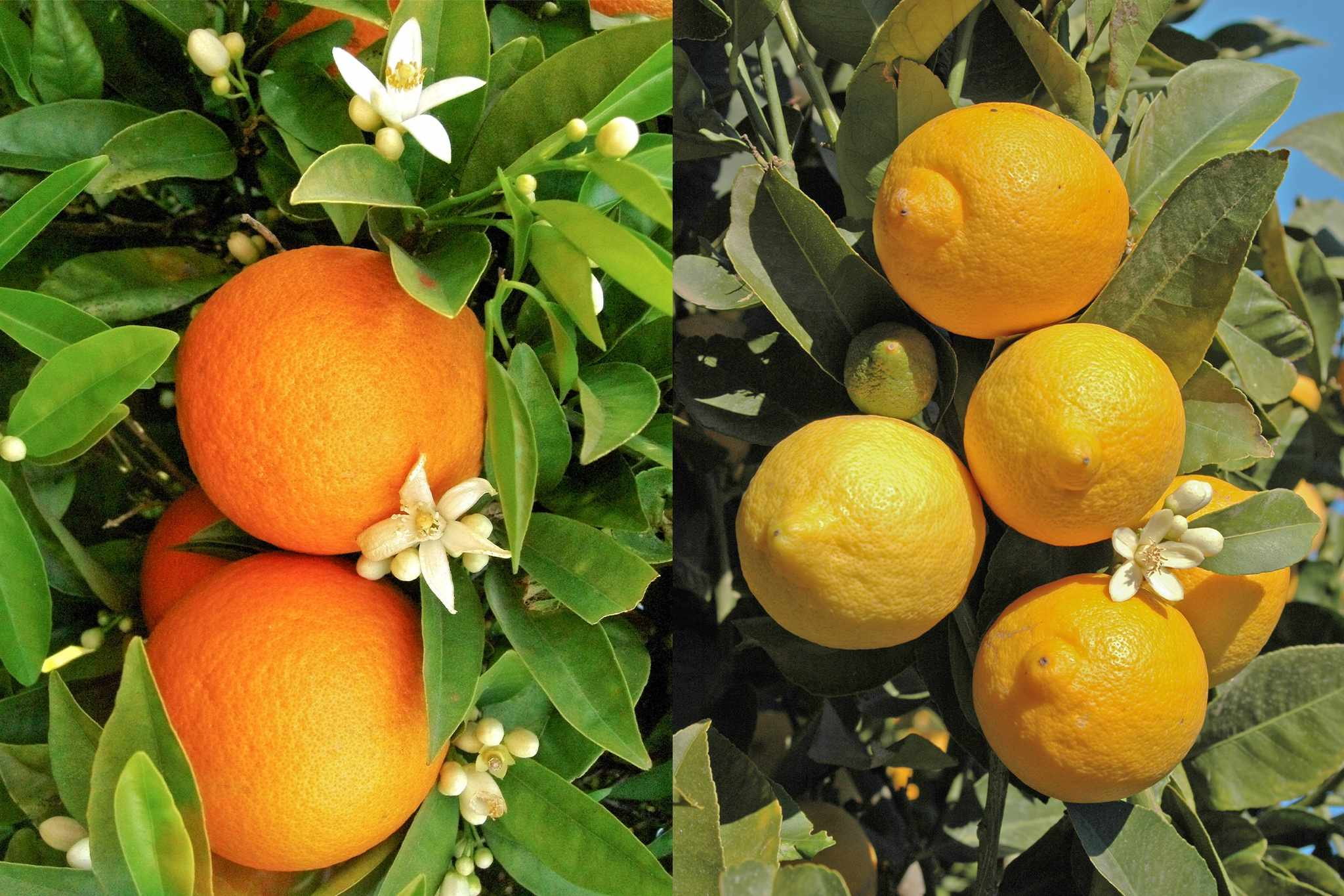 blooming-direct-citrus-trees-40-per-cent-2048-1365
