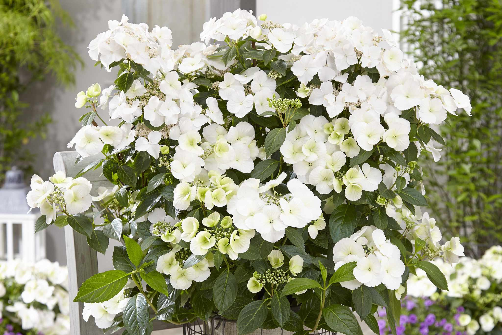 blooming-direct-hydrangea-runaway-bride-2048-1365