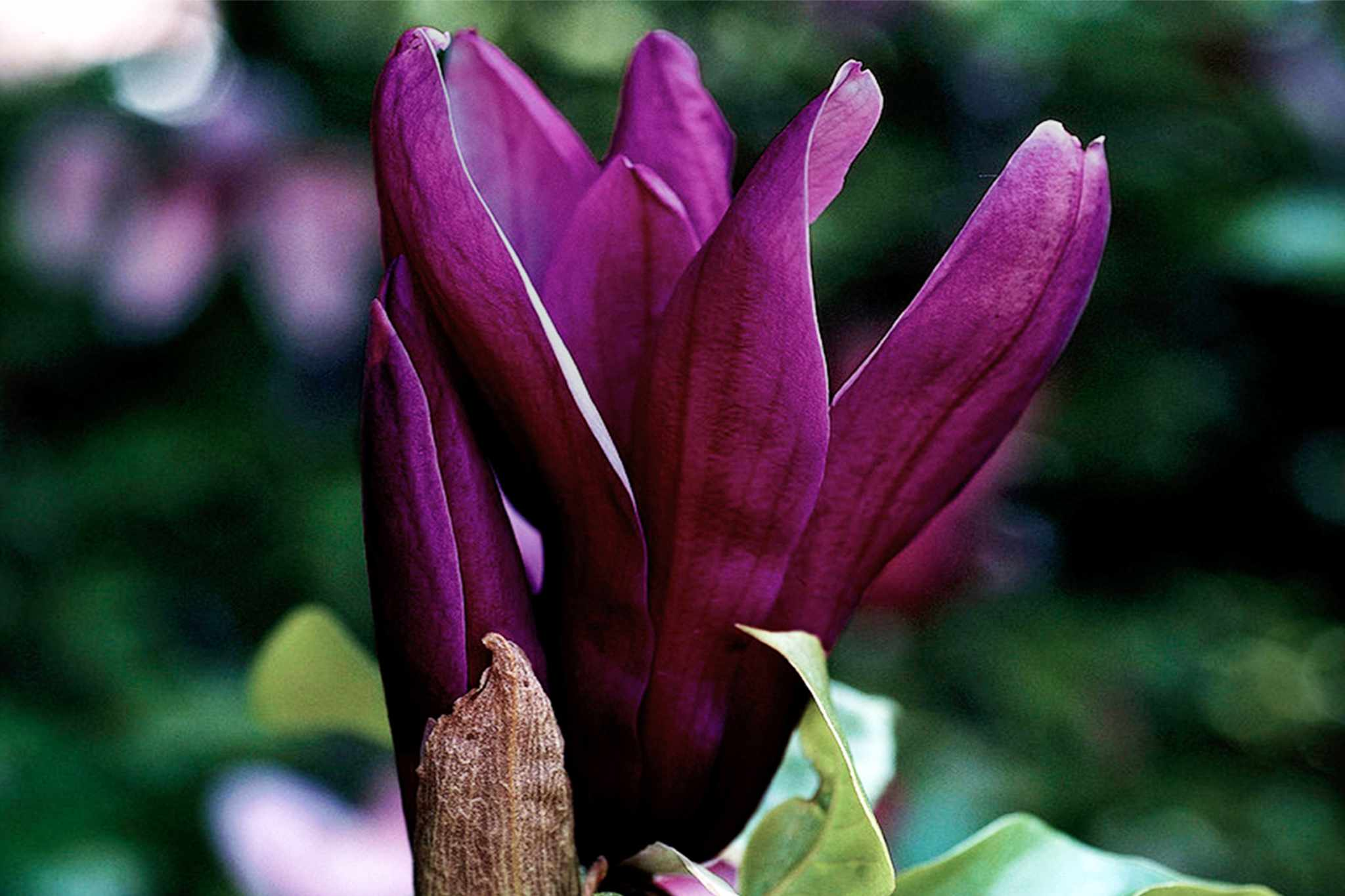 blooming-direct-magnolia-black-beauty_v3-2048-1365