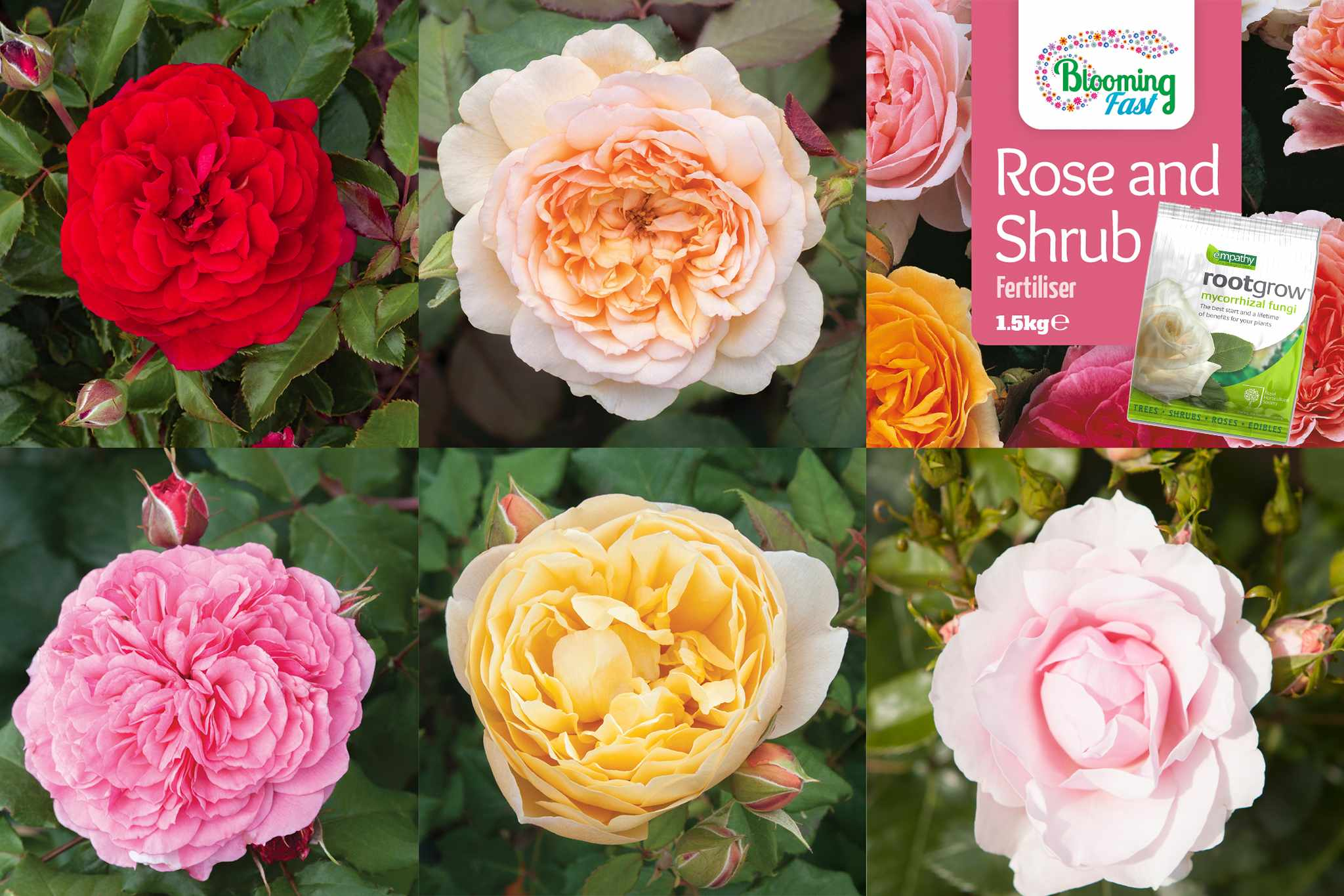 blooming-direct-old-english-shrub-rose-saver-collection-2048-1365