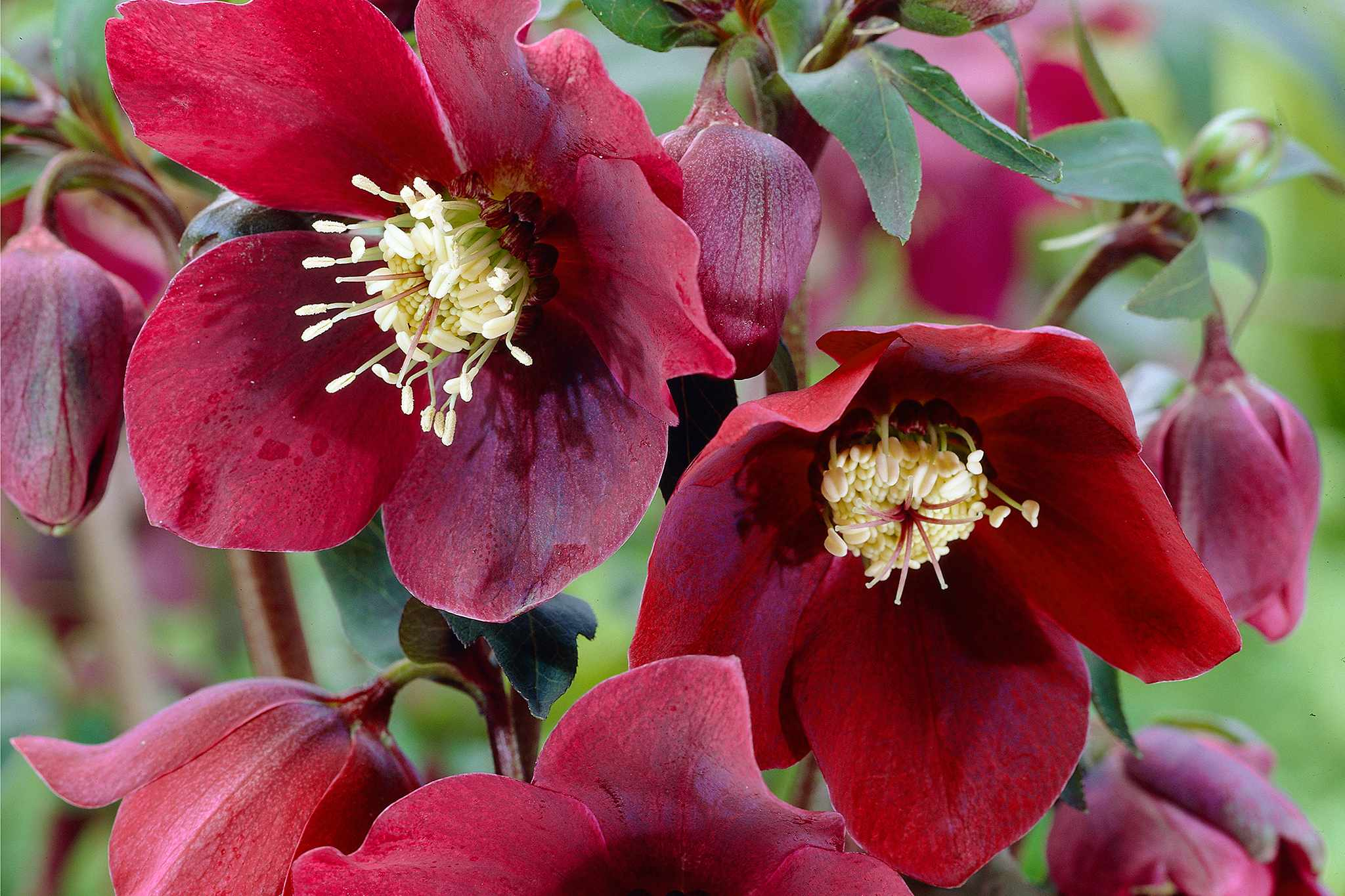hayloft-hellebore-ruby-queen-2048-1365
