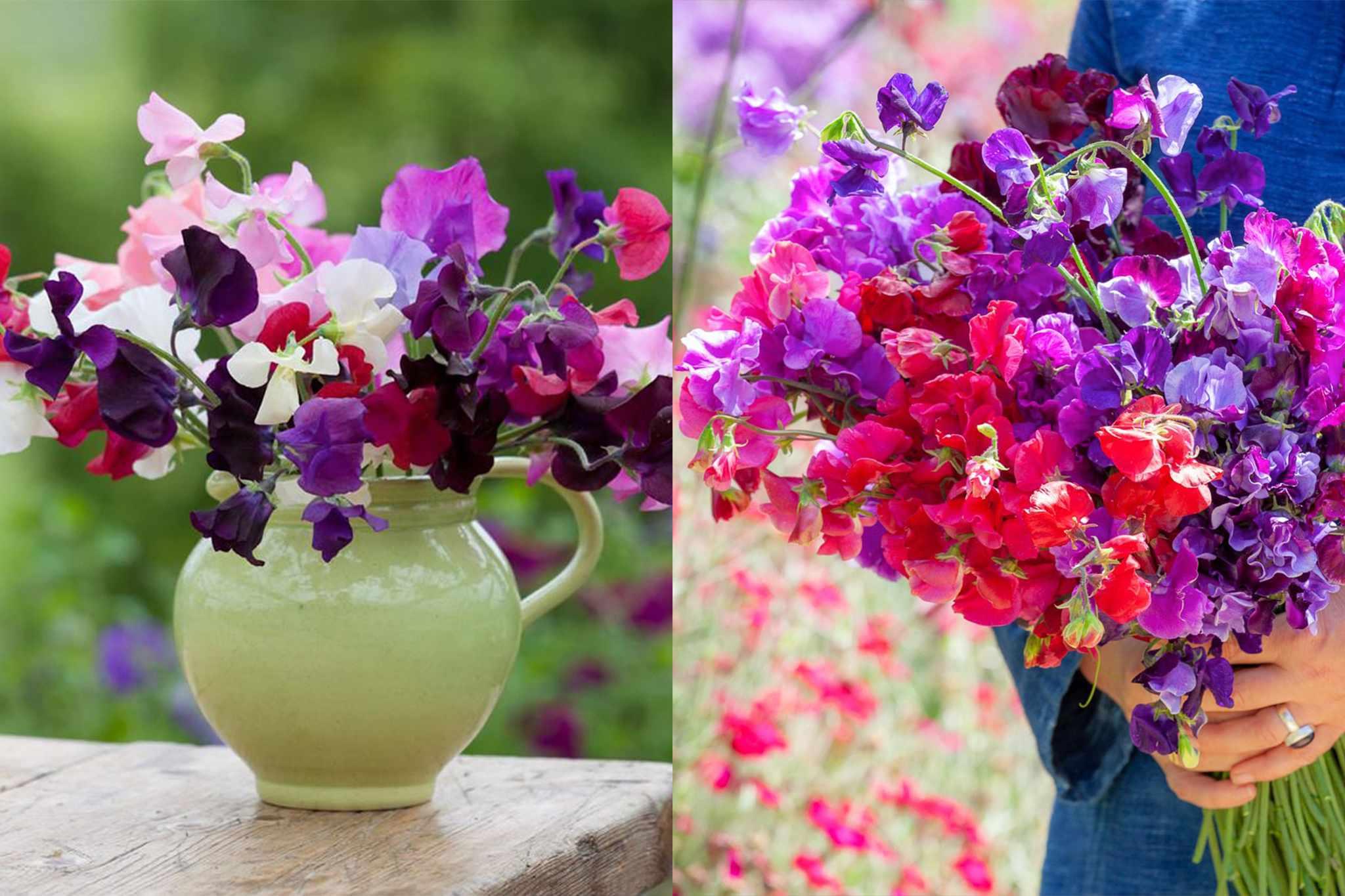 sarah-raven-free-postage-sweet-pea-seedlings_v2-2048-1365