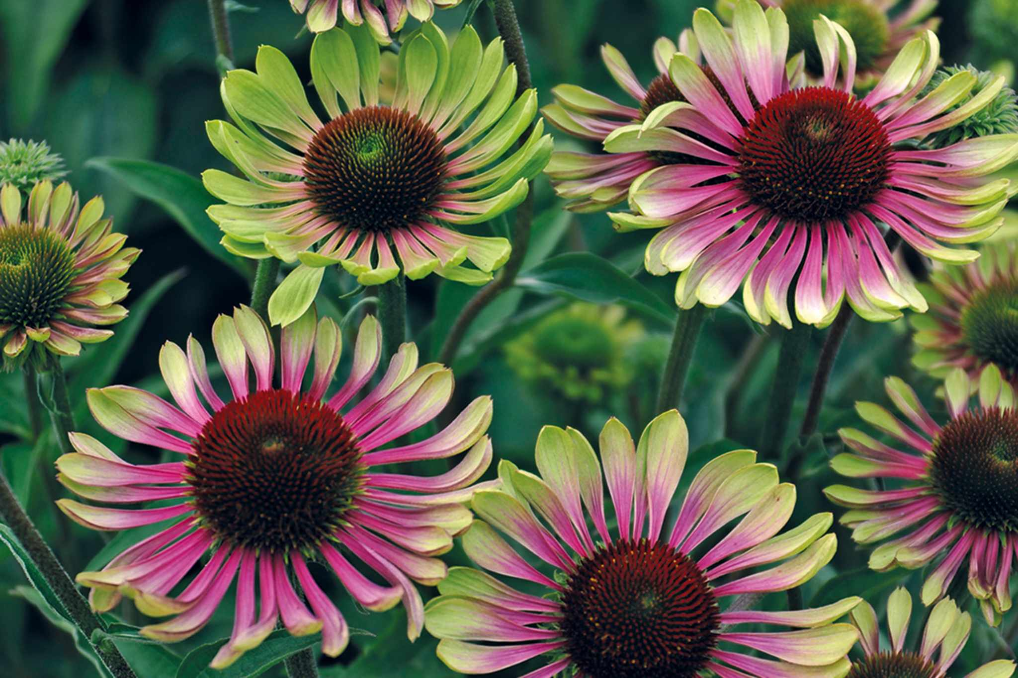 tandm-echinacea-green-twister-bare-root-2048-1365