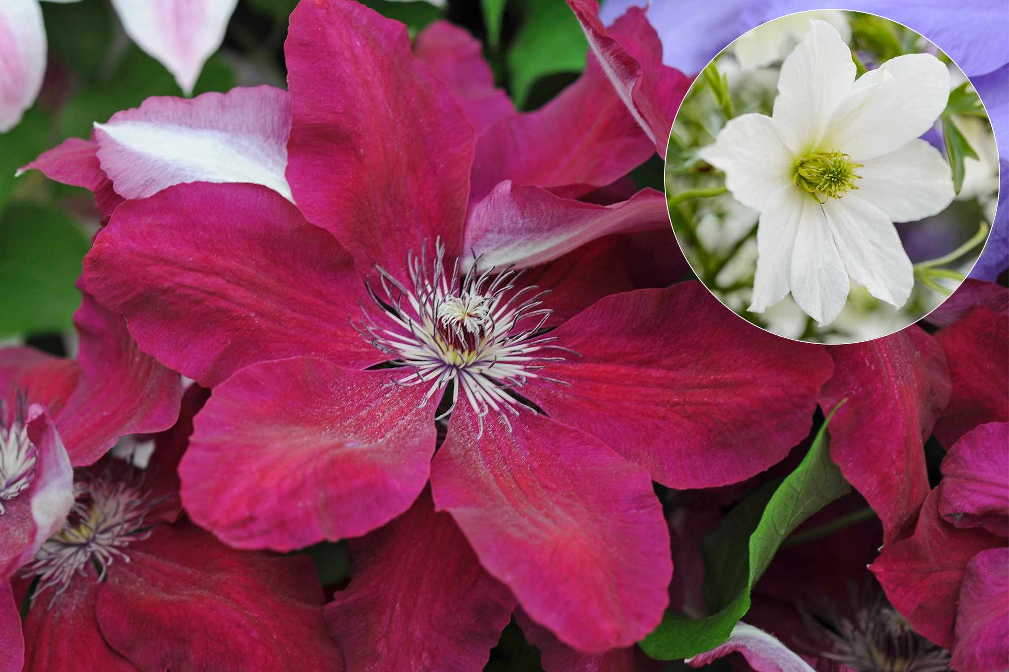 tandm-free-clematis-collection-V1-2048-1365