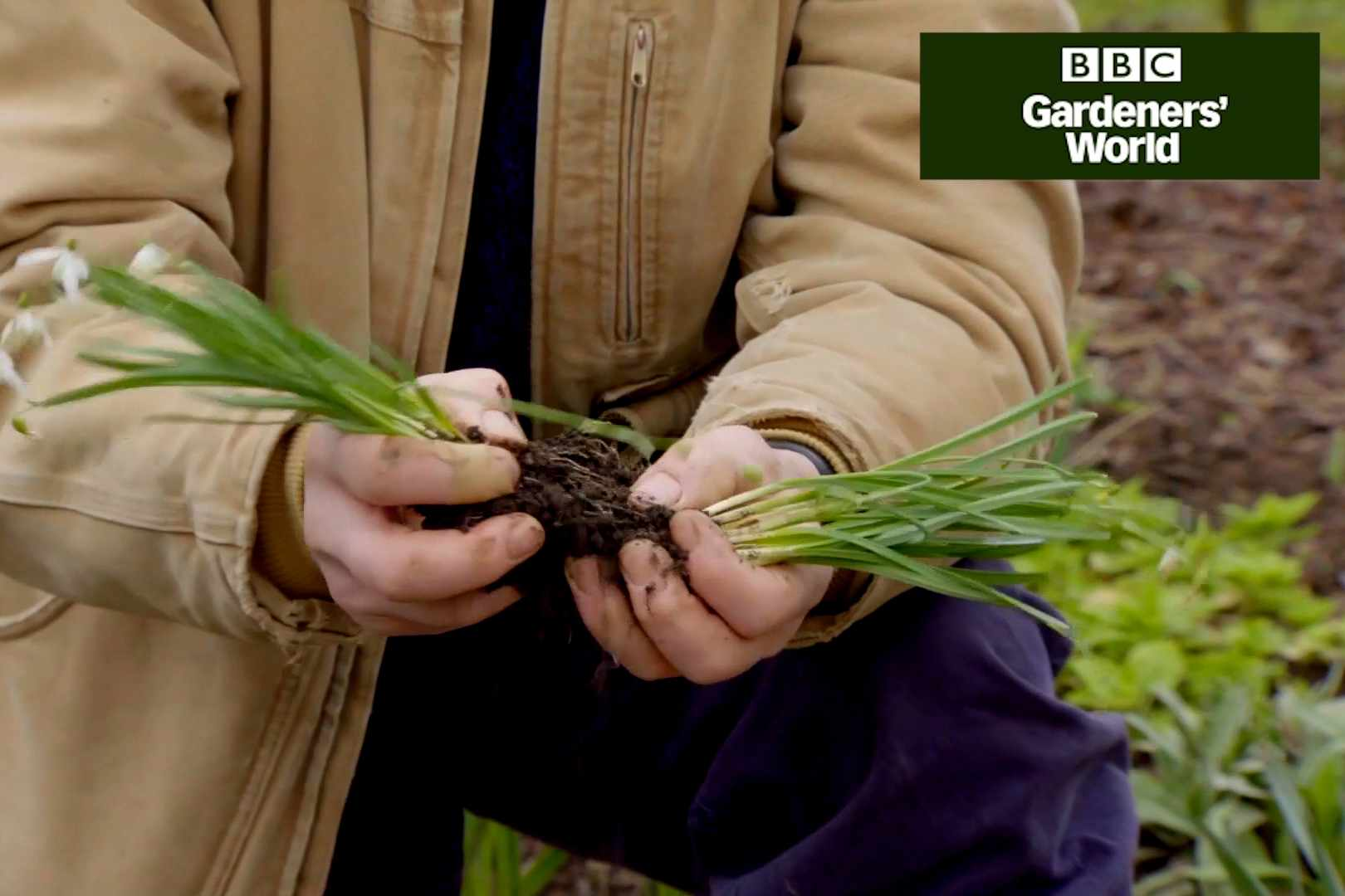 How to divide snowdrops in the green - Gardeners' World video clip